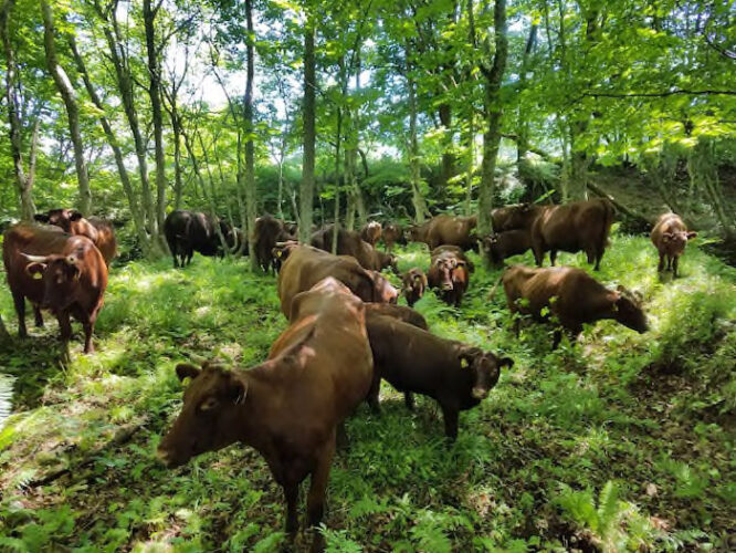 岩手短角和牛 放牧の様子